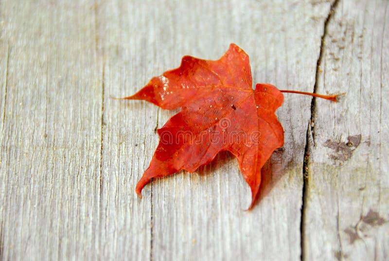 秋天叶子槭树 库存图片