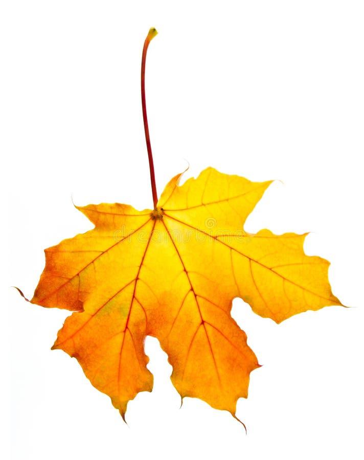 秋天叶子槭树 免版税图库摄影