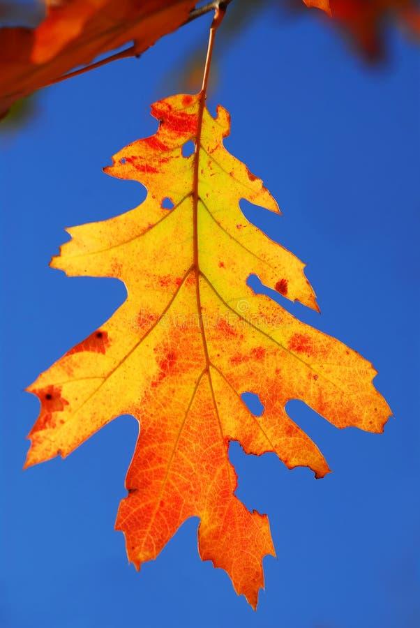 秋天叶子橡木 库存照片