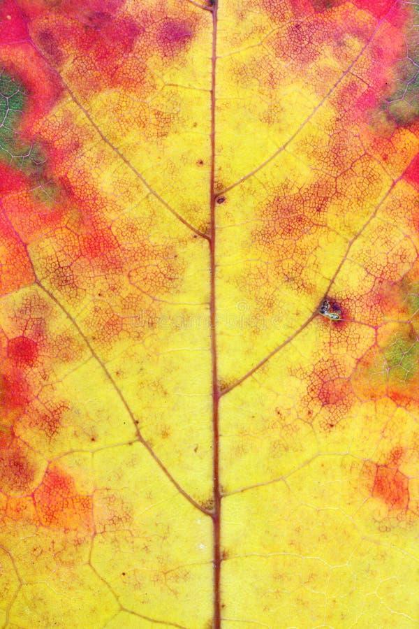 秋天各种各样的颜色-从染黄的绿色-在一枫叶 库存图片