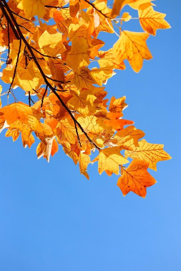 秋天和tuliptree在蓝天背景  库存照片