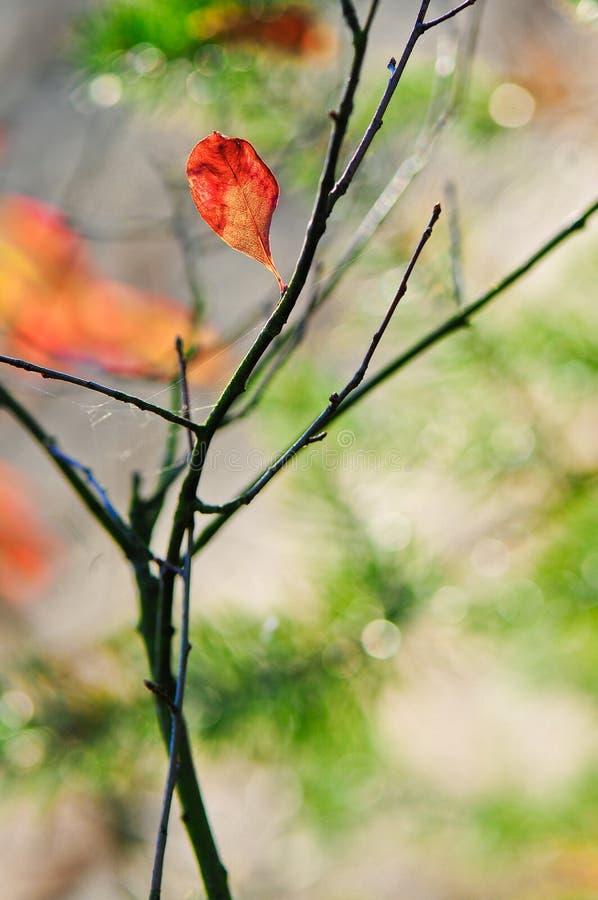 秋天唯一红色叶子背景 库存图片