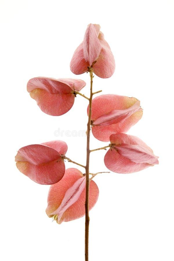 秋天回到花桃红色工作室透明白色 免版税库存照片