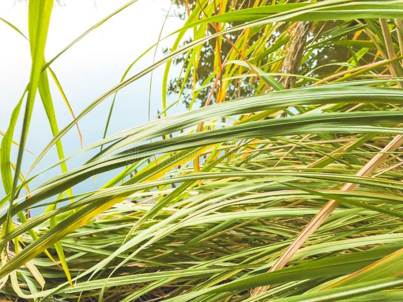 秋天在公园,在池塘附近的芦苇 秋叶 秋天的颜色 库存照片
