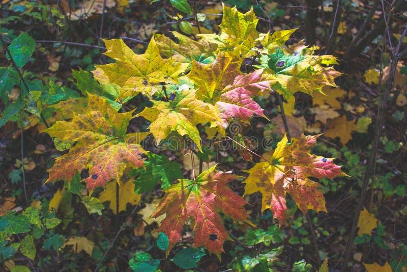 秋天在叶子背景的枫叶 库存照片