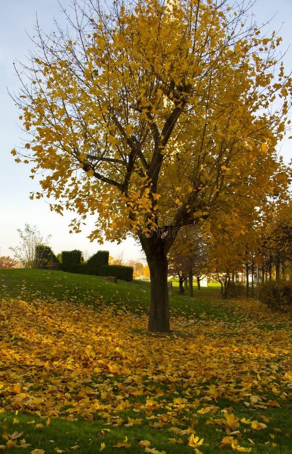 秋天在杜塞尔多夫 在绿草的金黄叶子 库存图片