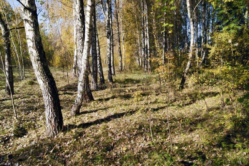 秋天在桦树树丛里 免版税库存图片