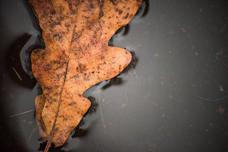 秋天在水坑的橡木叶子从上面是宏观的 库存图片