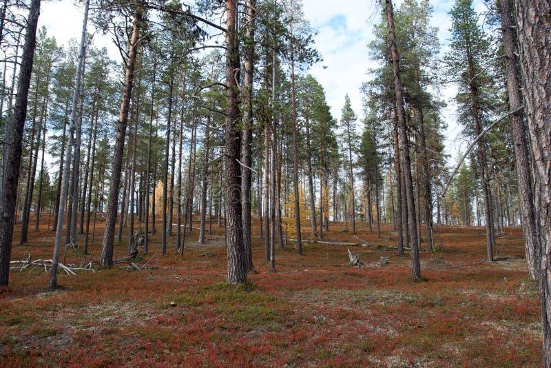 秋天在深北方针叶林森林,芬兰里 图库摄影