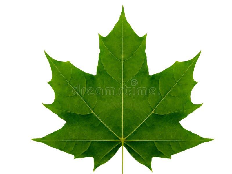 秋天在白色背景的叶子槭树隔绝与裁减路线 免版税库存照片