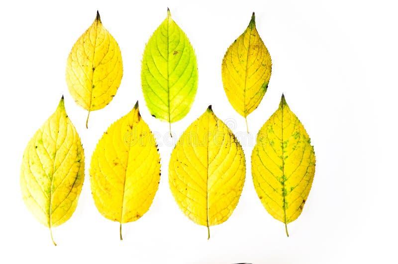 秋天在白色背景的黄色叶子 免版税图库摄影
