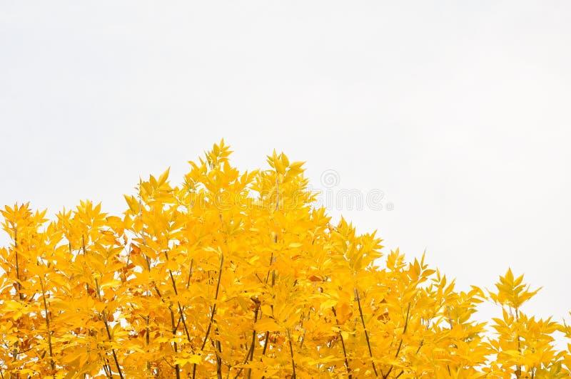 秋天在白色背景的黄色叶子 免版税库存图片