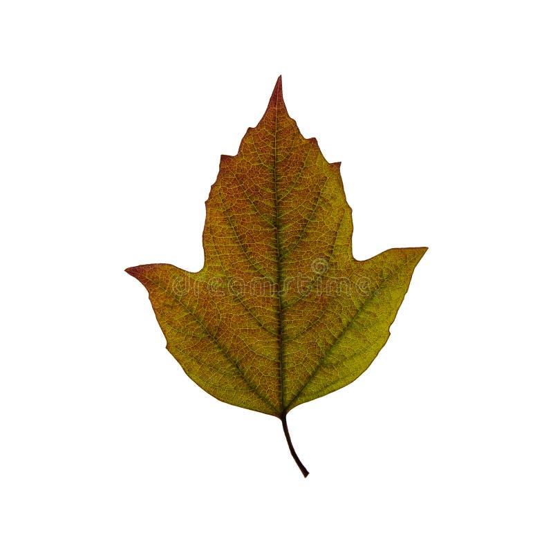 秋天在白色背景隔绝的绿色叶子 秋天留给自然纹理充满活力 库存照片