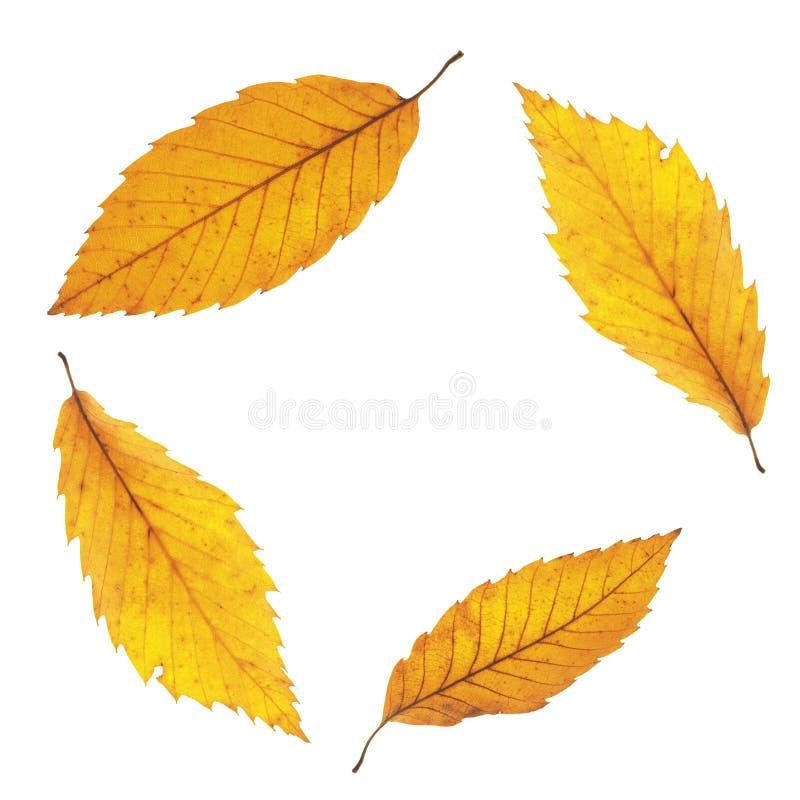 秋天在白色隔绝的枫叶 免版税库存图片