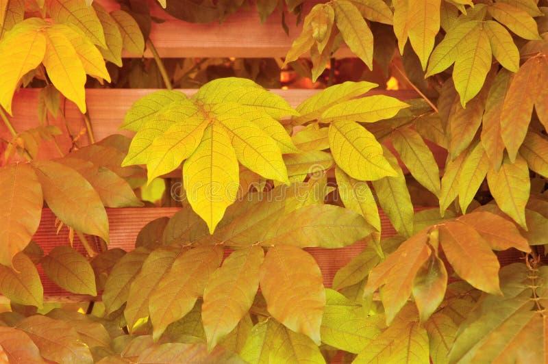 秋天在篱芭的弗吉尼亚爬行物 免版税库存照片