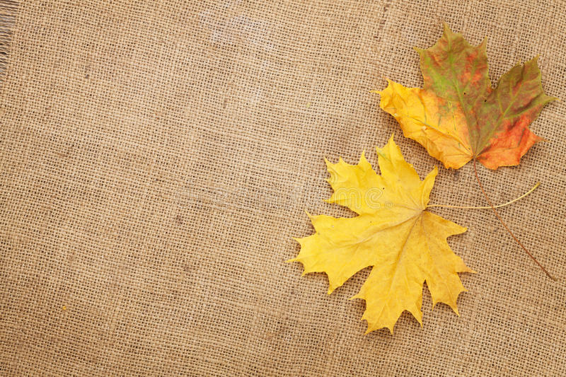秋天在粗麻布纹理背景的槭树叶子 库存图片