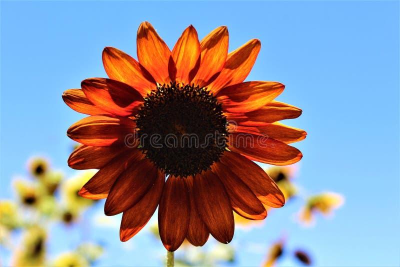 秋天在绽放在沙漠,亚利桑那,美国的秀丽向日葵 库存图片