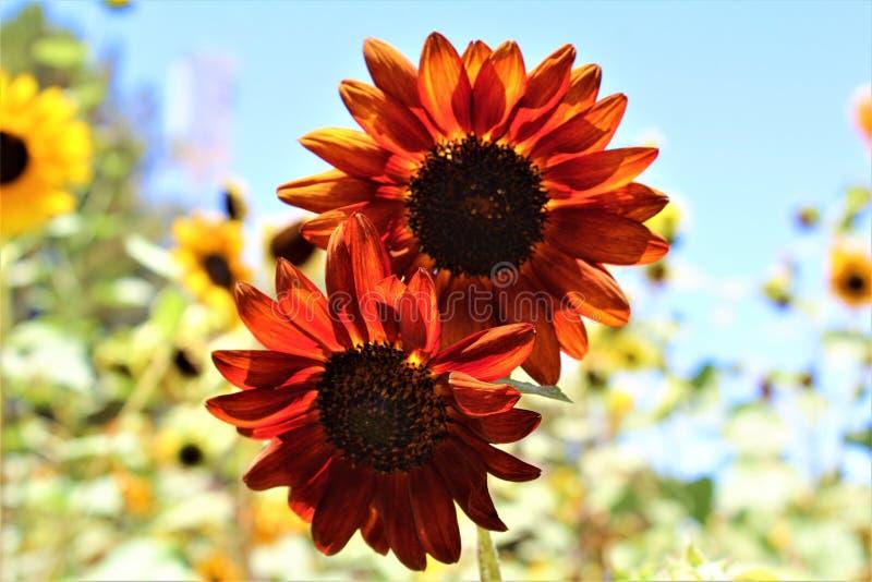 秋天在绽放在沙漠,亚利桑那,美国的秀丽向日葵 库存照片