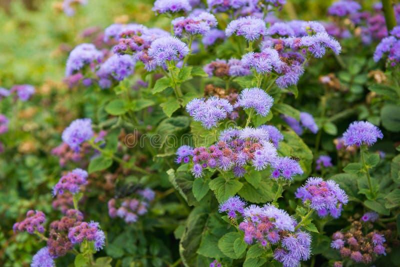 秋天在花圃的藿香蓟属花 秋天,自然的植物 库存照片