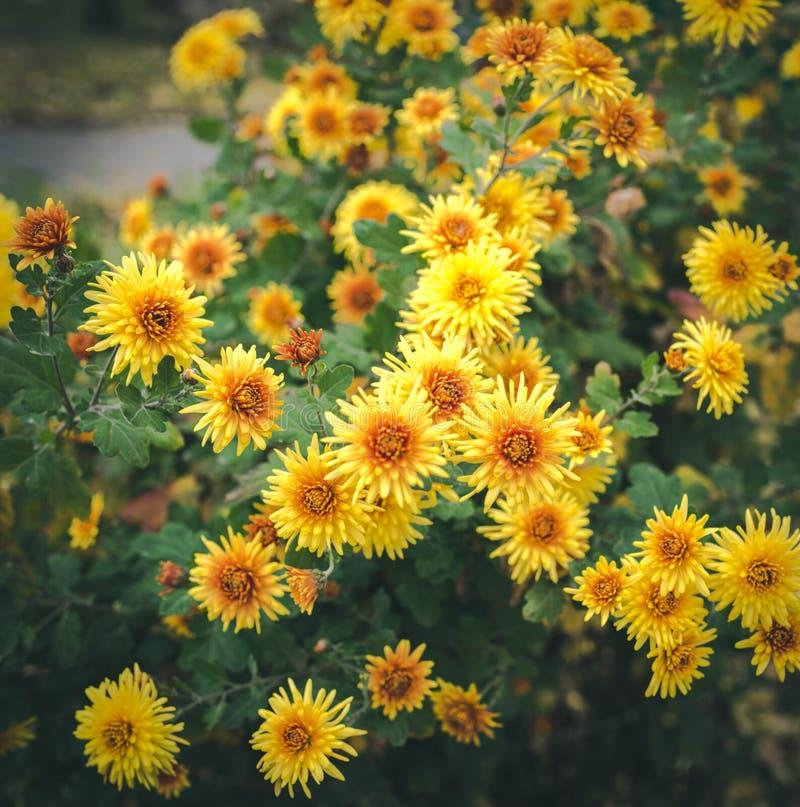 秋天在花床上开花,美丽的菊花 生长在公园的黄色翠菊