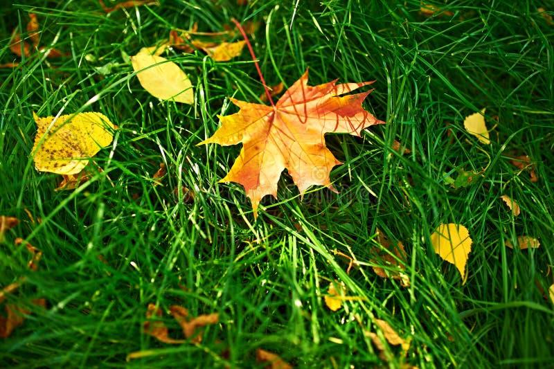 秋天在草的槭树叶子 免版税库存照片
