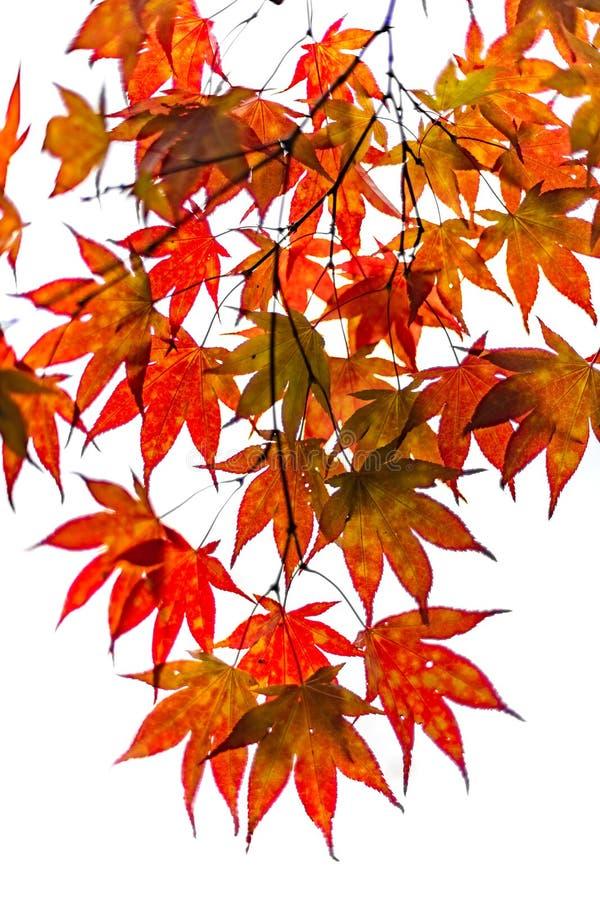 秋天在荷兰生叶树 皇族释放例证