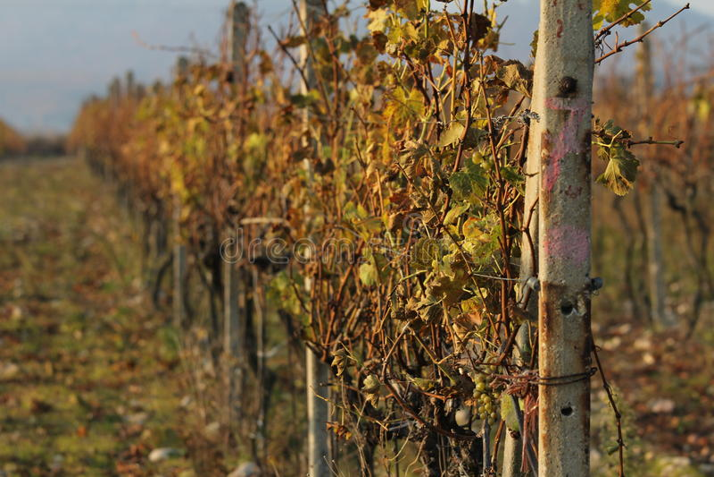 秋天在葡萄园里在Modra 库存图片