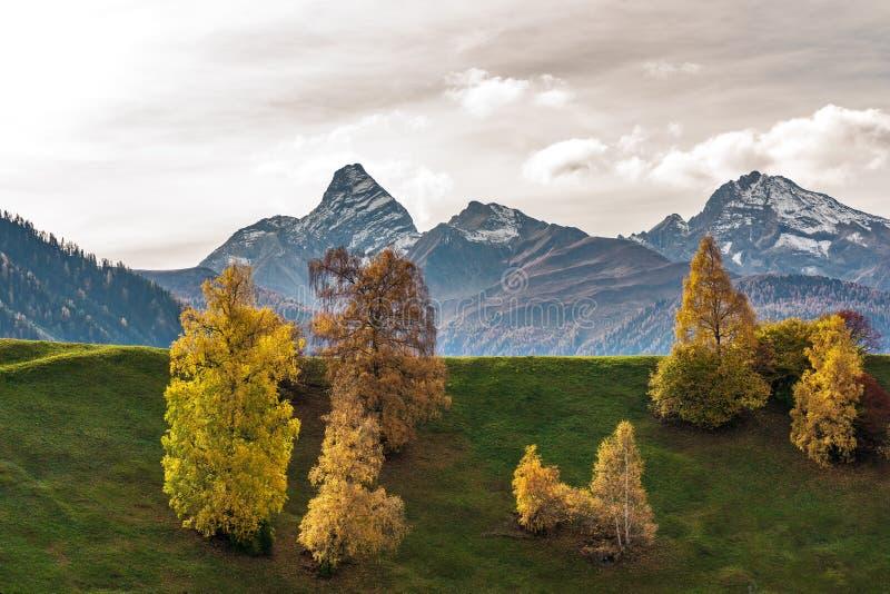 秋天在达沃斯格里松州瑞士,黄色色的树 免版税库存图片