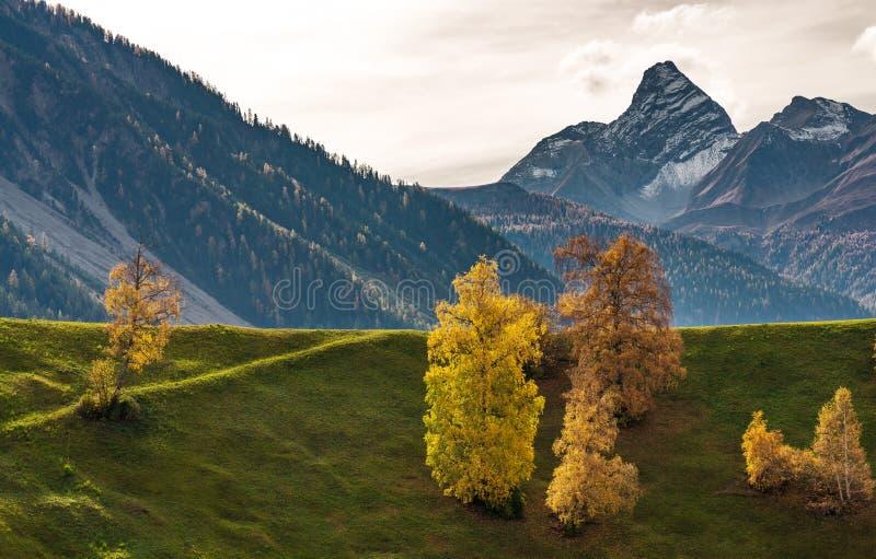 秋天在达沃斯格里松州瑞士,黄色色的树 库存照片