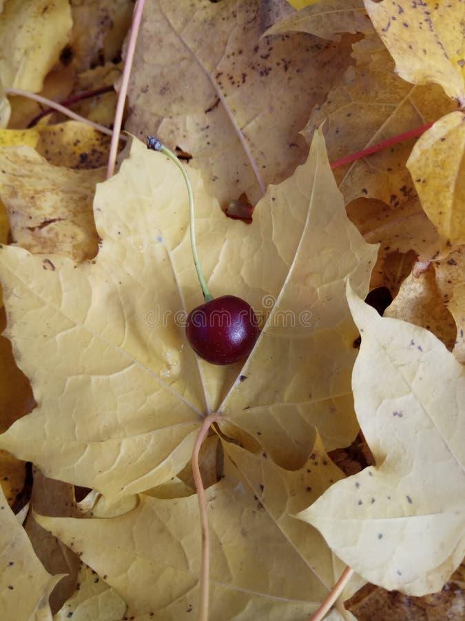 秋天在黄色隔绝的枫叶收藏 库存图片