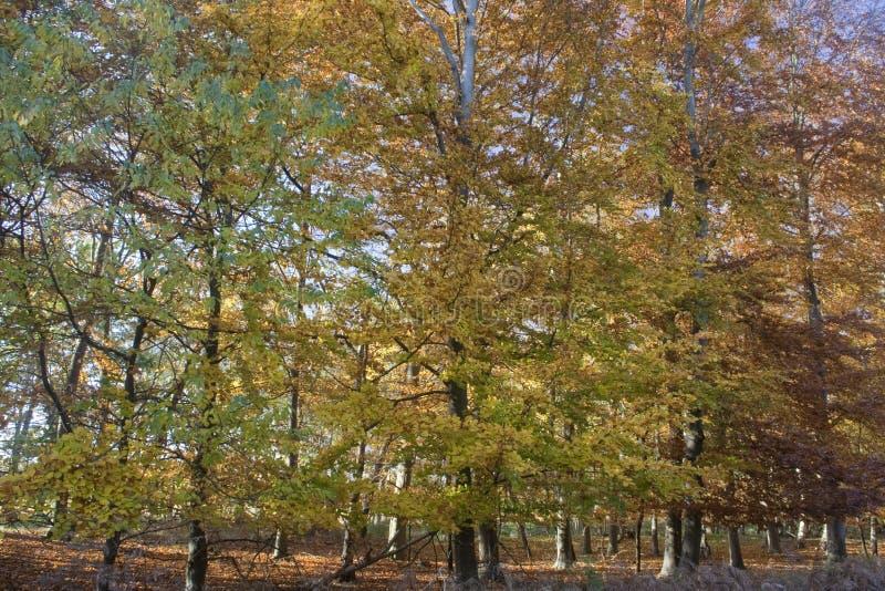 秋天在Tunstall森林,萨福克,英国里 库存照片