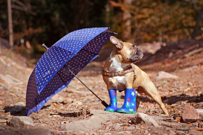 秋天场面法国牛头犬狗佩带的雨鞋和站立在伞下的森林里为恶劣天气做准备 库存图片