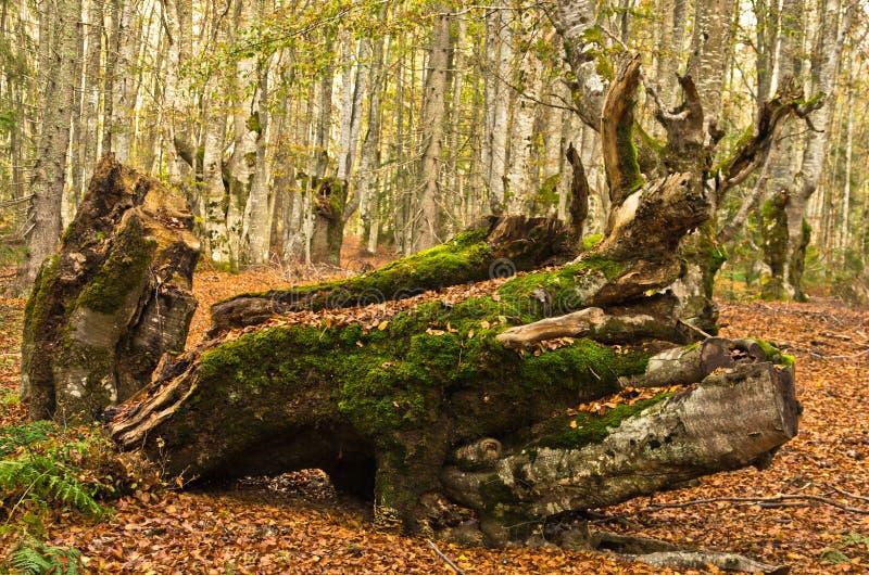 秋天场面,在森林开头的日志与很多下落的叶子, Radocelo山 免版税库存照片