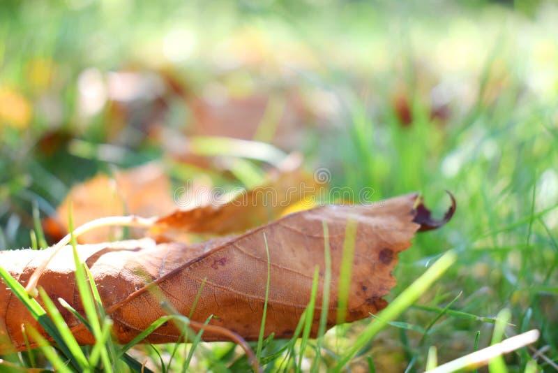 秋天场面 在草坪的秋叶 在绿草的金黄早晨太阳光芒 夏天的结尾 你好不9月, 10月, 免版税图库摄影
