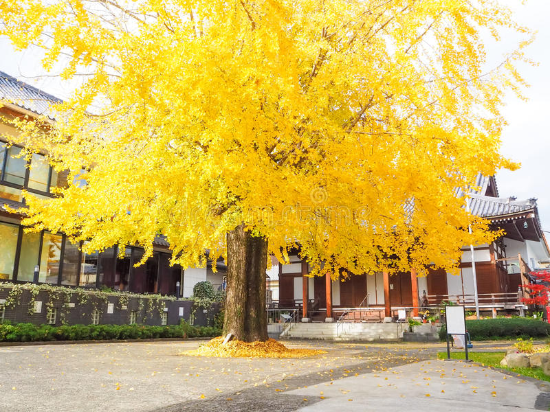 秋天大银杏树树 免版税库存图片