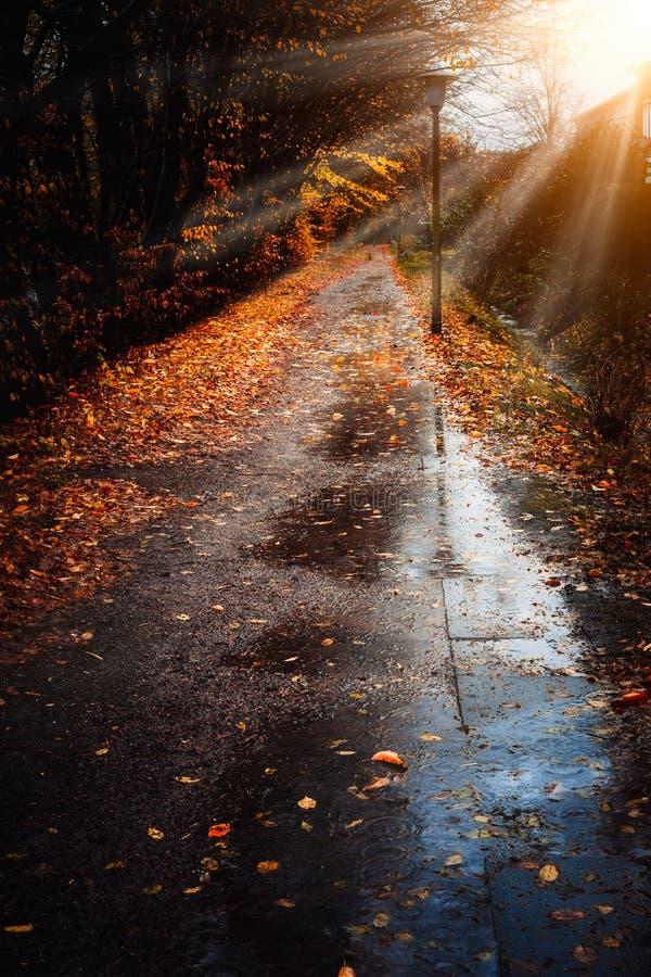 秋天太阳光芒光束出现在边路在一个雨天 放置在地面上的下落的金黄叶子 由后面照的光 免版税库存图片