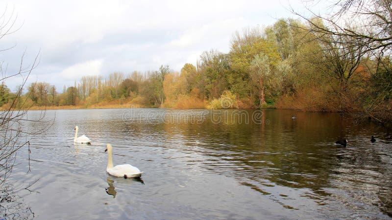 秋天季节有观点的小湖和白色天鹅 免版税库存图片