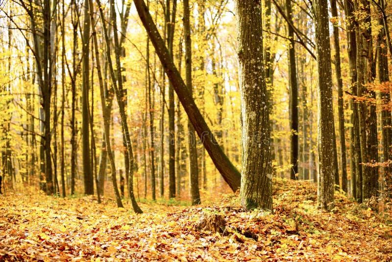 秋天山毛榉森林乌克兰,2018年喀尔巴阡山脉 库存照片