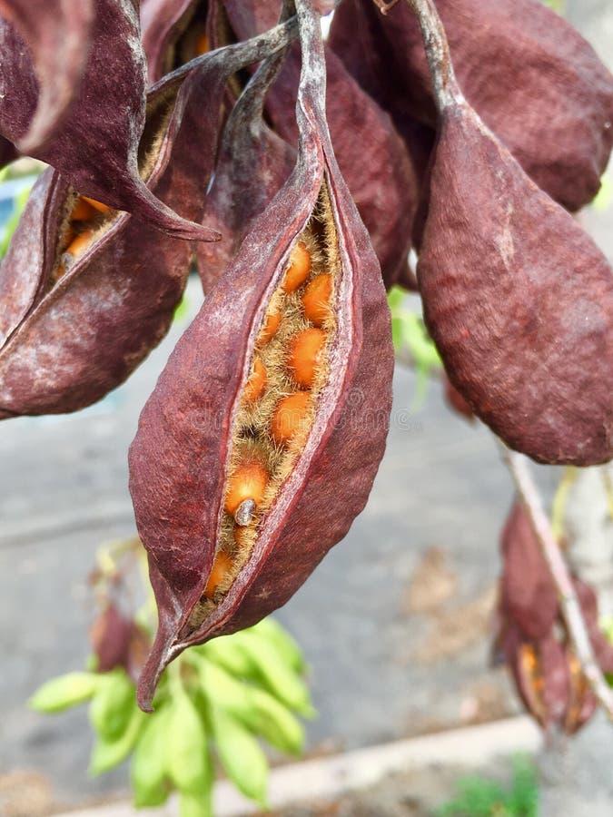 秋天布朗和橙色种子荚 库存图片