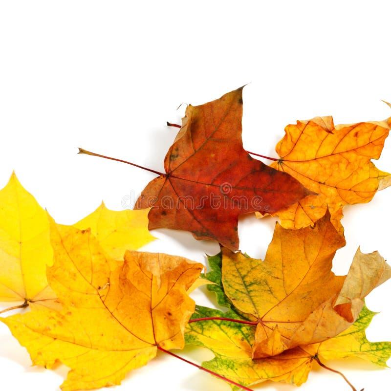 秋天干燥枫叶 图库摄影