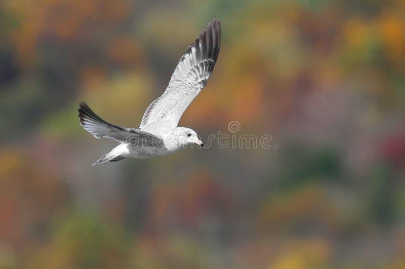 秋天开帐单的鸥环形 图库摄影