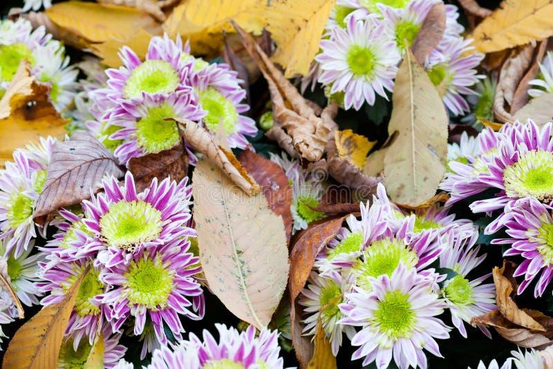 秋天开花菊花 在上面的槭树叶子 延命菊 免版税库存照片
