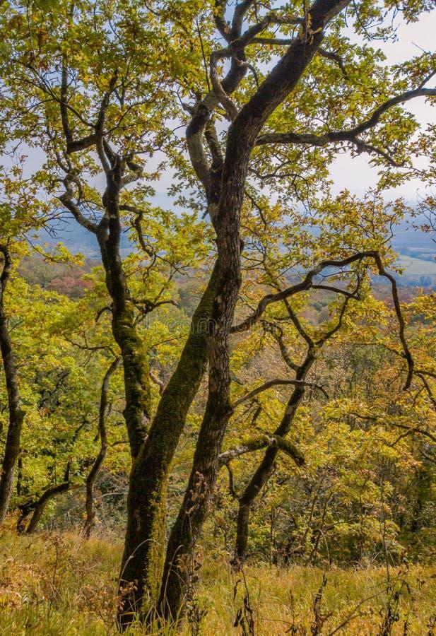 秋天报道的划分为的森林地面横向留下黄色 与黄色秋叶的老橡树 库存照片