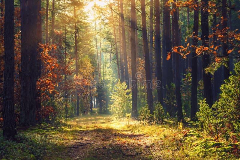 秋天报道的划分为的森林地面横向留下黄色 在树的五颜六色的发光在光束的叶子和草 惊人的森林地 风景秋天 库存照片
