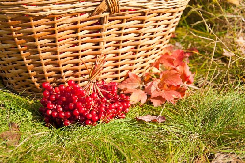 秋天收获在篮子的荚莲属的植物莓果 库存图片