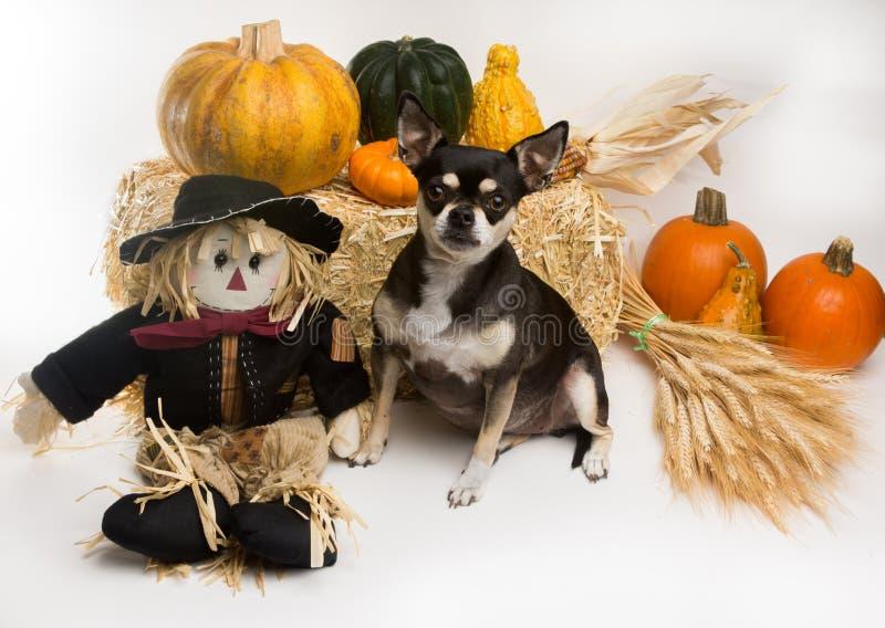 秋天收获奇瓦瓦狗