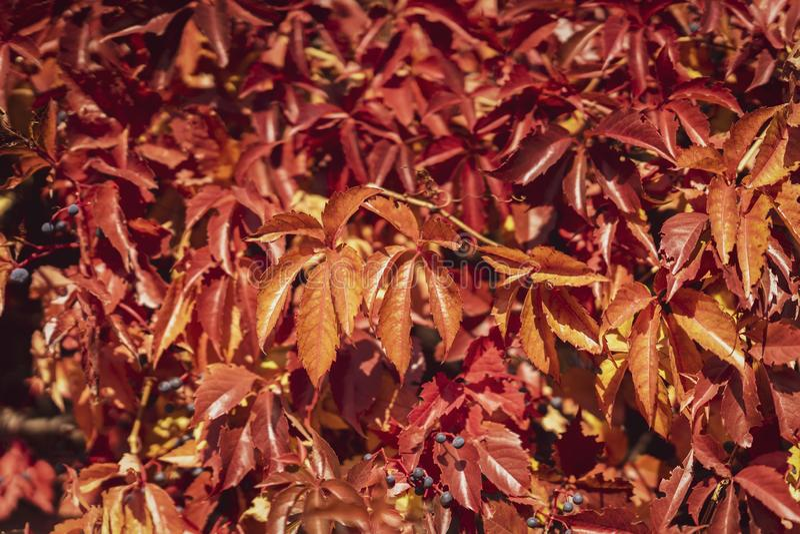 秋天新鲜的五颜六色的葡萄树叶子,红色树荫  秋季,自然本底 免版税库存图片