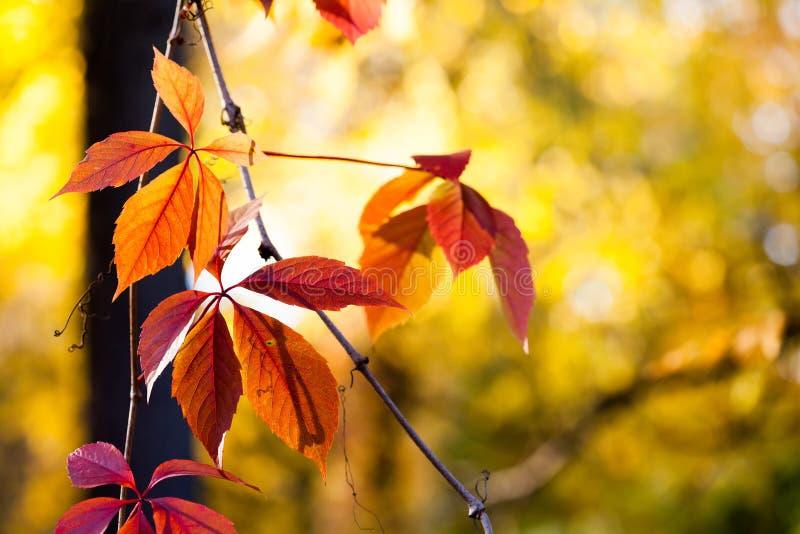 秋天时间五颜六色的场面 与红色叶子的上升的植物弗吉尼亚爬行物狂放的葡萄树枝在被弄脏的背景 库存图片