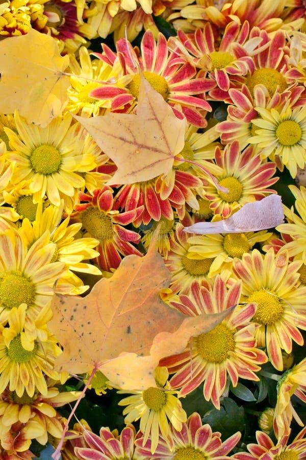 秋天时间静物画 抽象背景菊花颜色花 在上面的槭树叶子 延命菊 图库摄影