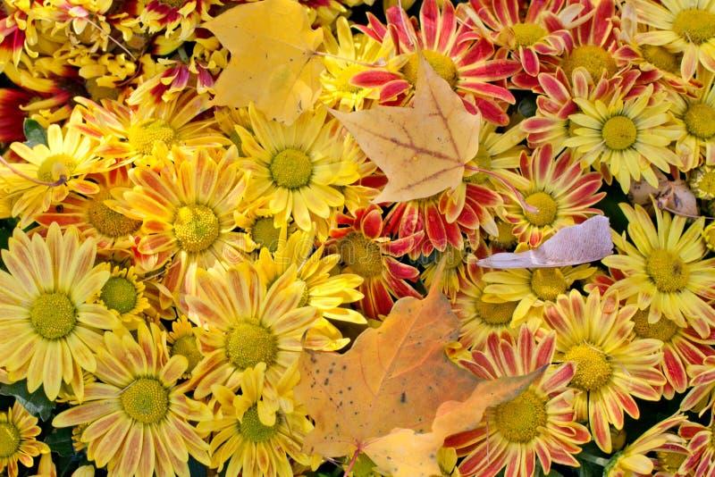 秋天时间静物画 黄色开花菊花 在上面的槭树叶子 延命菊 免版税图库摄影